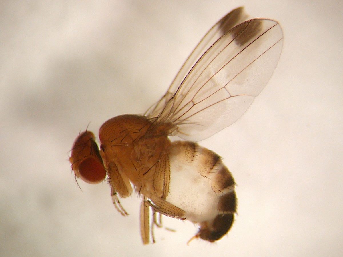 muszka drosophila,