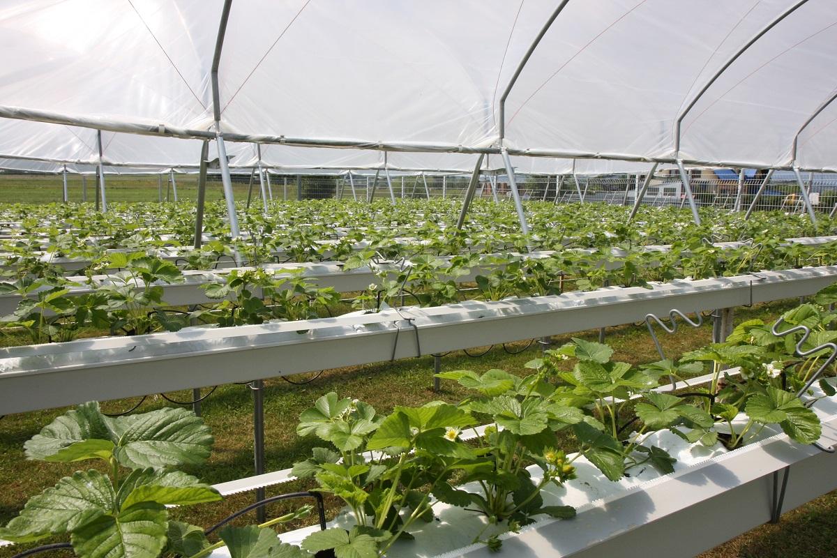 Dni otwarte truskawki, uprawa truskawek na rynnach, uprawa truskawek pod daszkami, mini tunele dla truskawek
