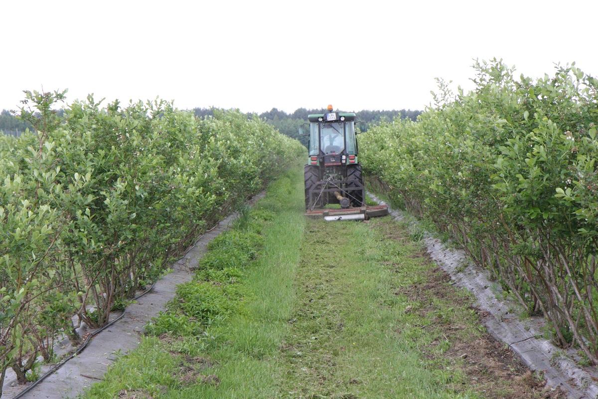 uprawa borówki wysokiej, koszty produkcji borówek,