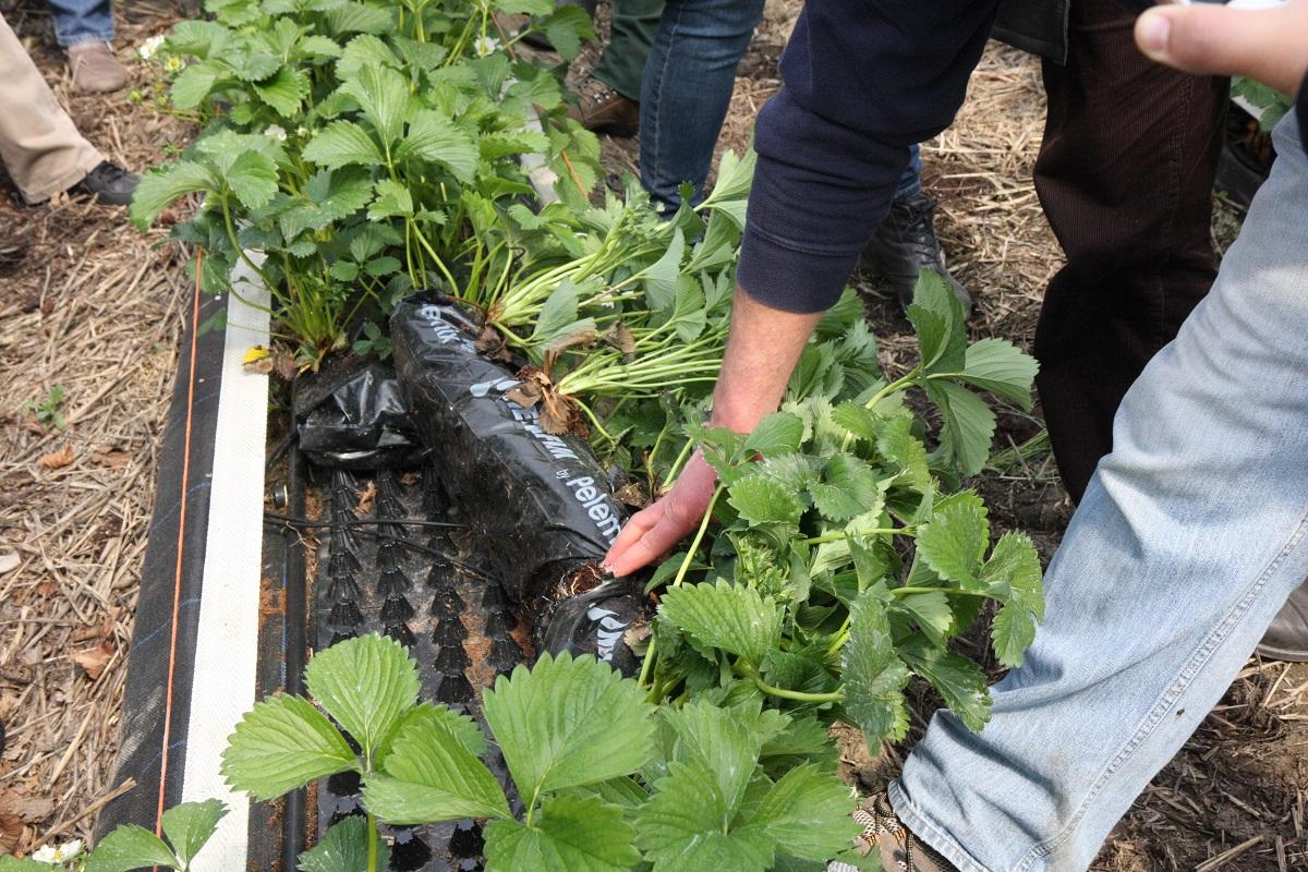 uprawa truskawek, jagodnik.pl, odmiany truskawek