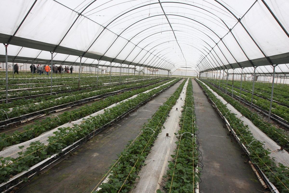 BerryTech, Haygrove, uprawa truskawek, rynny do truskawek, Teleskopowe systemy uprawy truskawek na rynnach