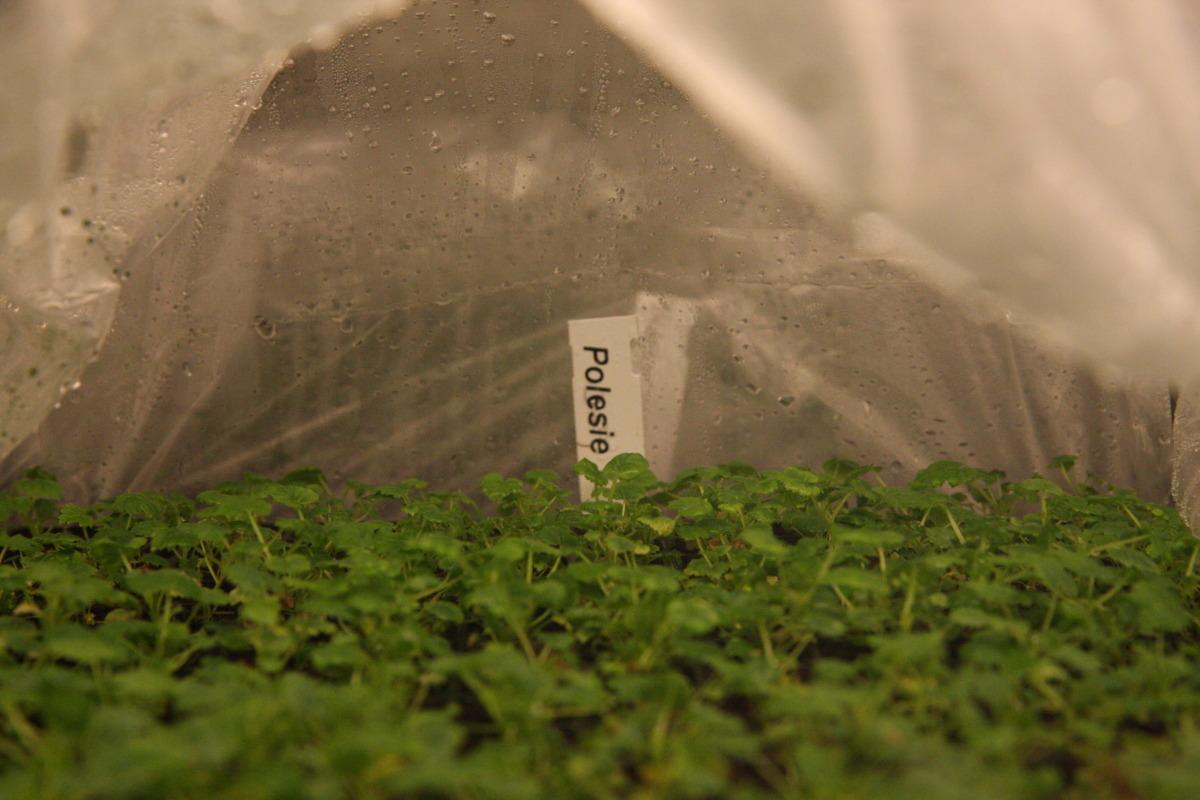 maliny, in vitro maliny, sadzonki malin