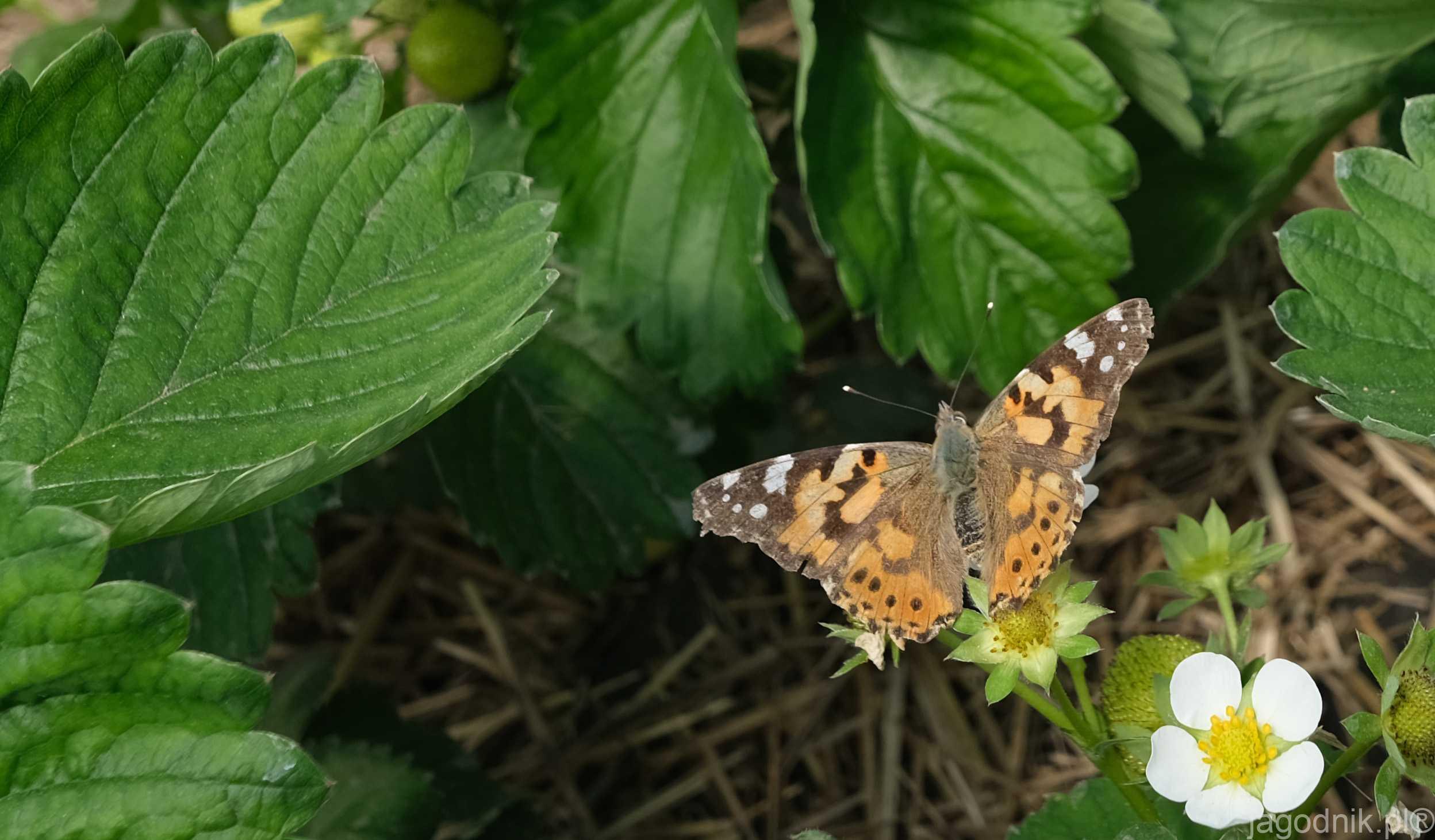 Motyle Tez Zapylaja Kwiaty Niezwykli Przybysze Jagodnik