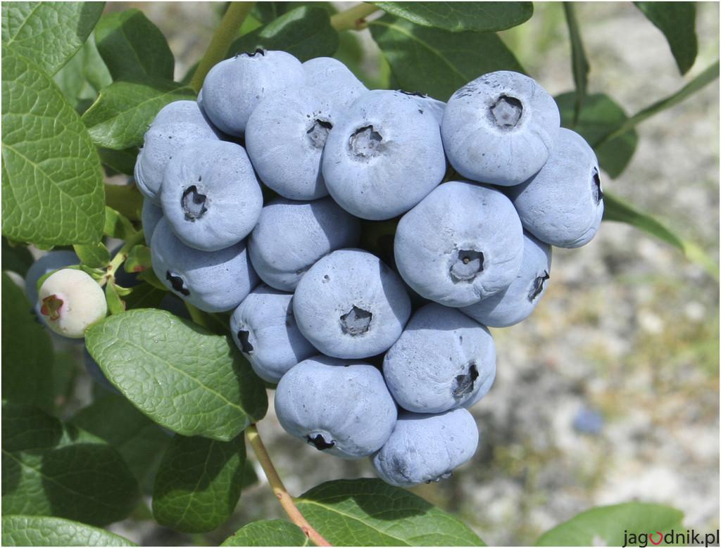 Talisman blueberry
