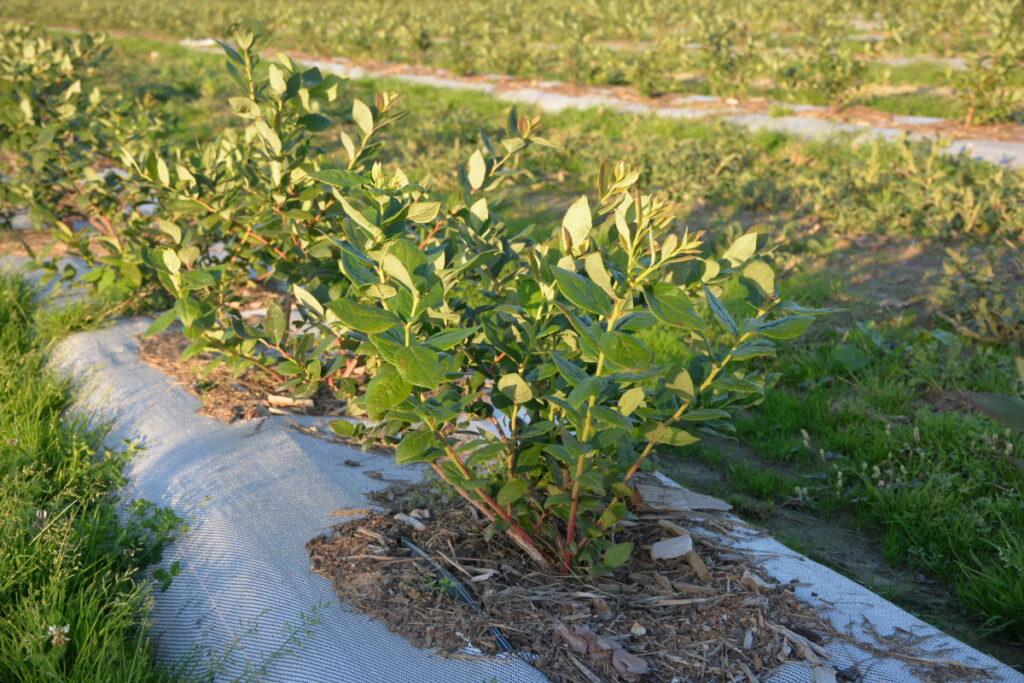 Rośliny odmiany Duke (dostawca Szkółka Koter) po kilku miesiącach wzrostu na plantacji zgodnie z zaleceniami firmy TAP