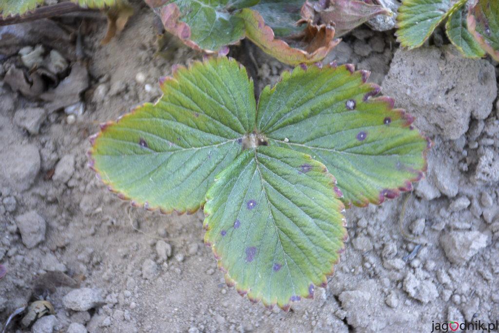 biala pamistość liści truskawki