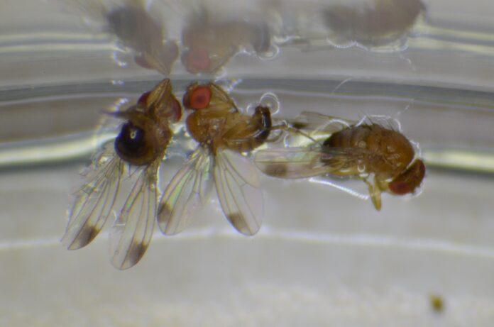 Samce muszki plamoskrzydłej, Drosophila suzukii (Fot. W. Piotrowski).