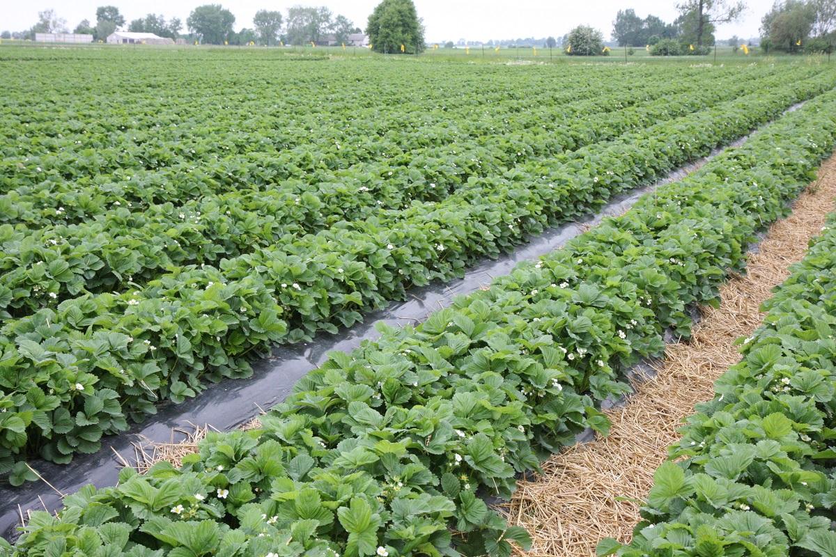 uprawa truskawek, zalecenia dotyczące uprawy truskawek, nowe odmiany trusakwek