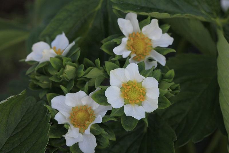 kwitnienie truskawek, truskawka kwitnienie