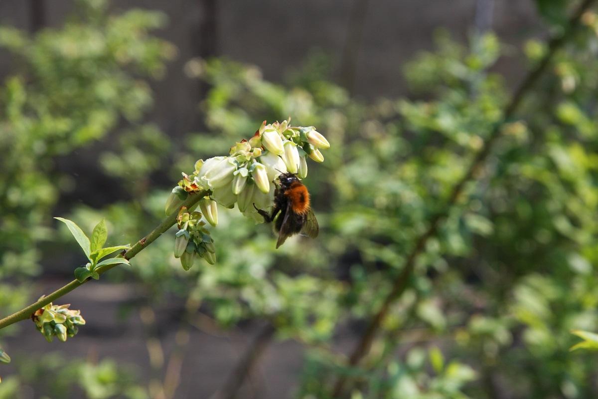 kwitnąca borówka, odmiany borówki, hodowla borówek, dzień borówkowy, konferencja borówkowa