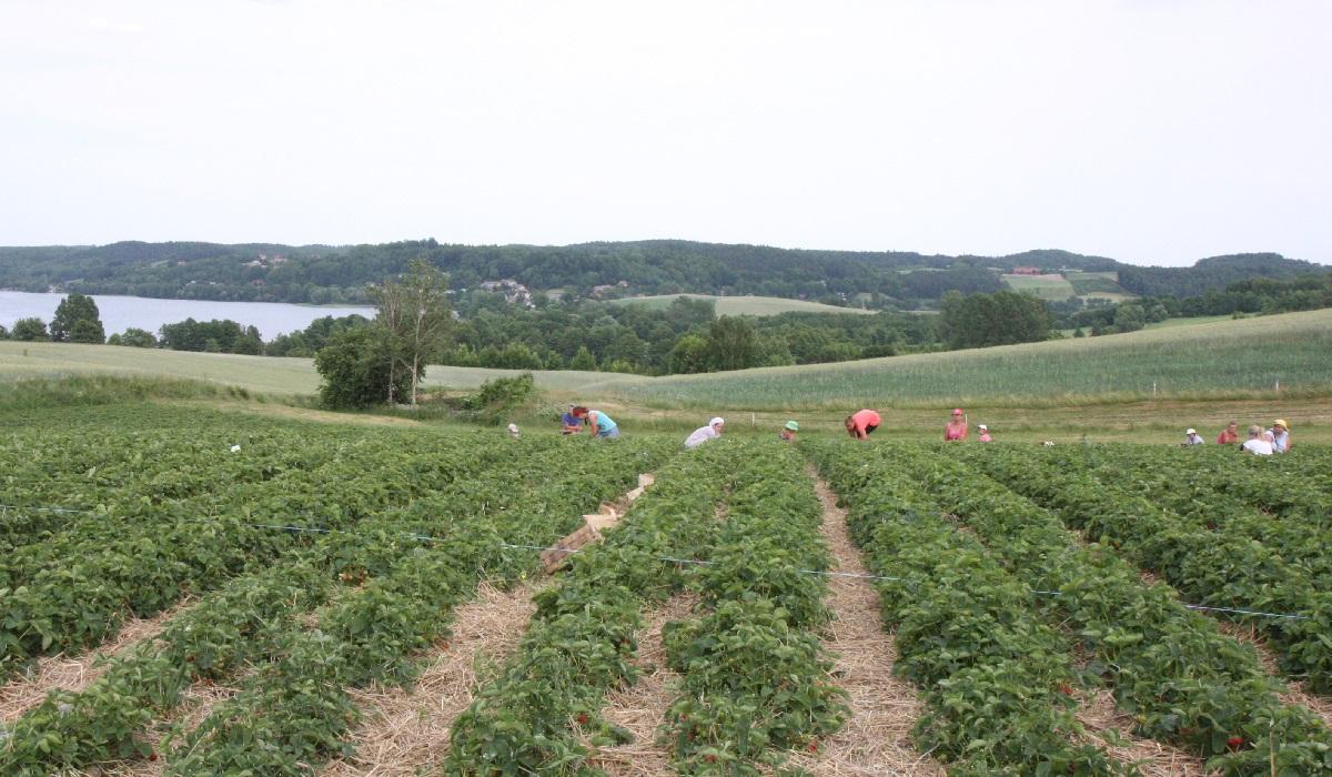 zbiory truskawek na kartuzach, zbiory truskawek