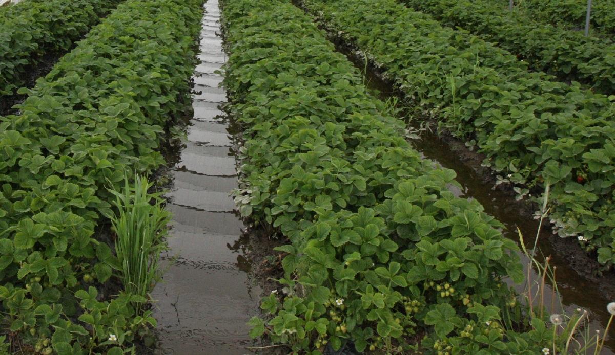 uprawa truskawek, zalane plantacje truskawek, nawożenie truskawek