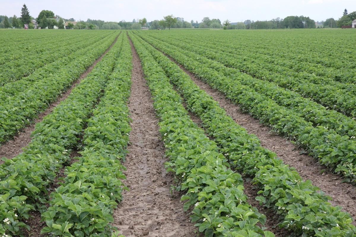 plantacja truskawek, truskawki, uprawa truskawek, zwalczanie chwastów w truskawkach