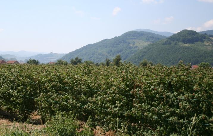 maliny, maliny w Serbii, zbiory malin w Serbii