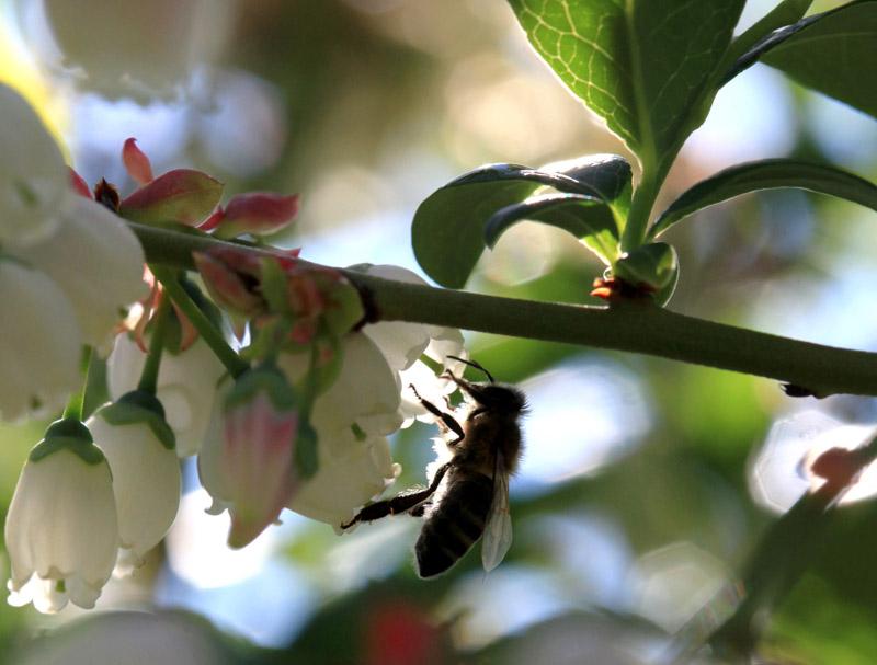 pszczoła, zapylanie jagodowych, pszczoły na borówce