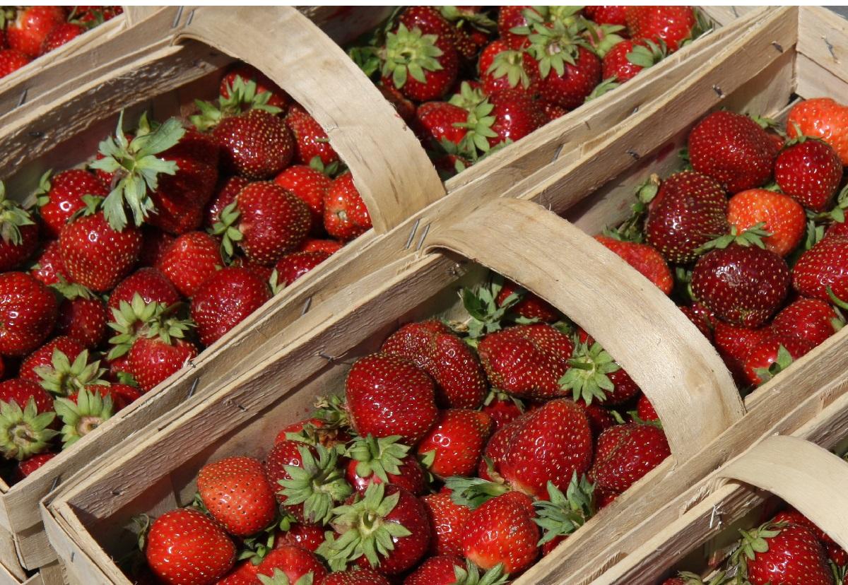 senga sengana, polska truskawka przemysłowa, ceny truskawek, zbiory truskawek, truskawka przemysłowa