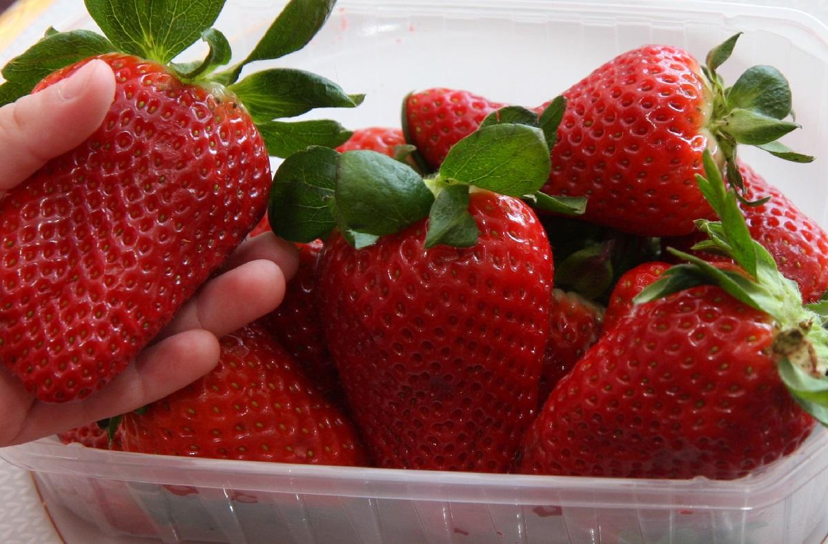 truskawka, truskawki, freshuelva, jagodnik, jagodnik.pl, IP truskawek