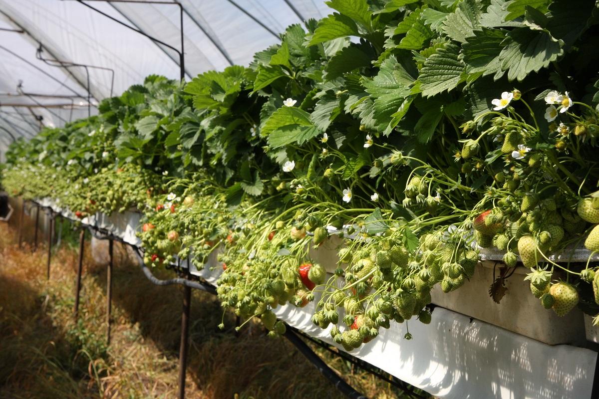 uprawa truskawek, truskawki, truskawka, truskawki w tunelach, aminokwasy truskawki