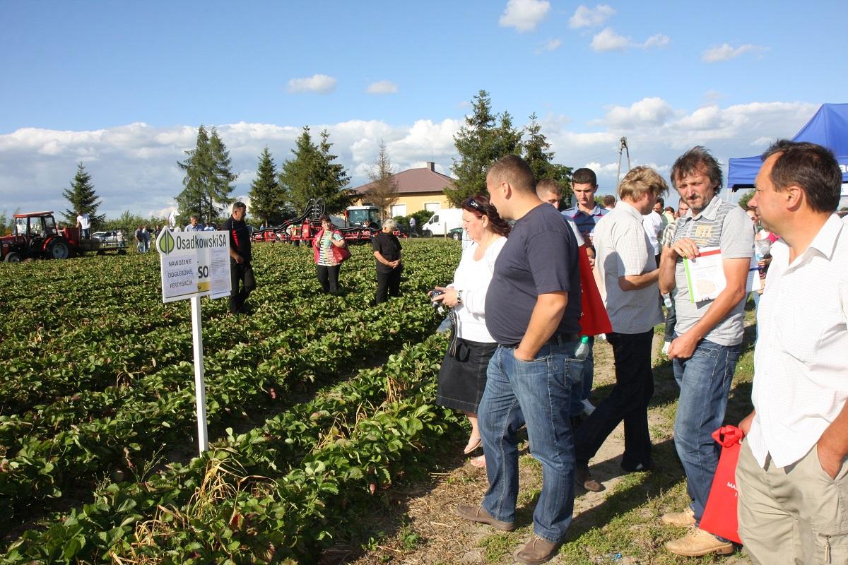 uprawa truskawek, nawożenie truskawek, grupa truskawkowa, aminokwasy w truskawkach