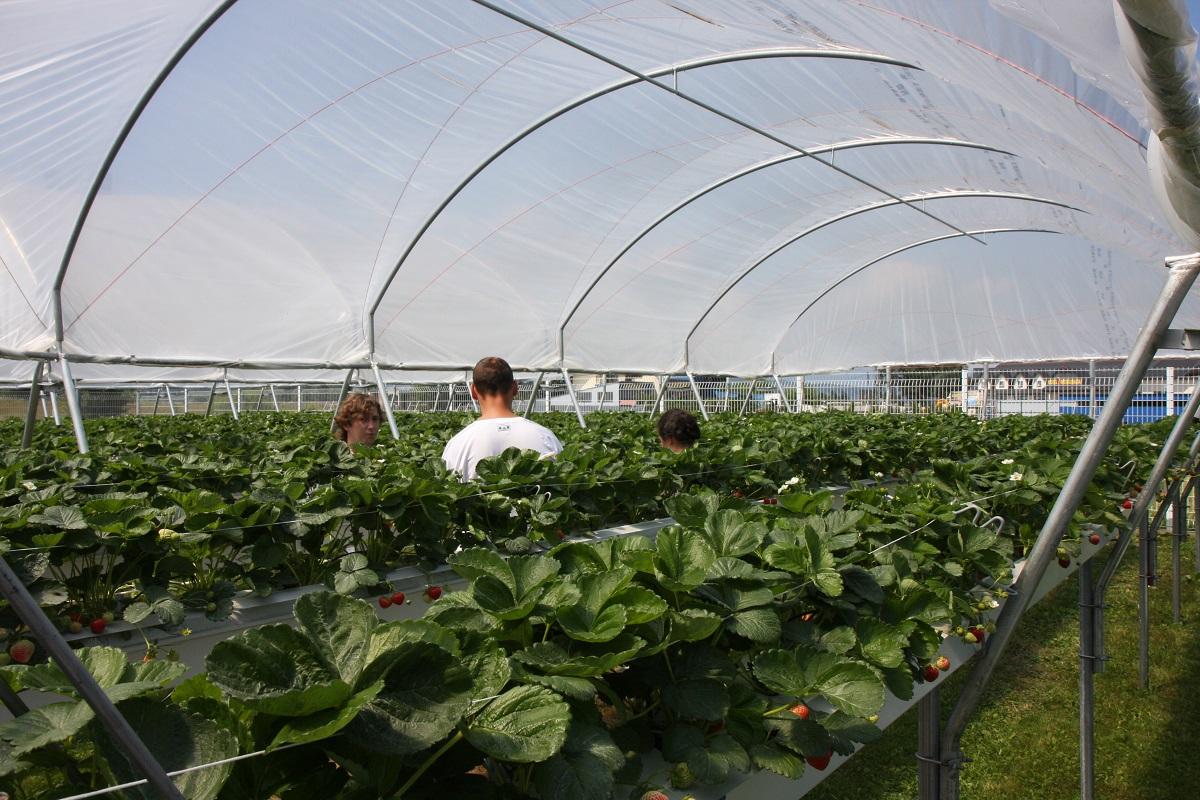uprawa truskawek, truskawki w substratach, nawożenie truskawek, jagodnik.pl, III Dni Otwarte Truskawki