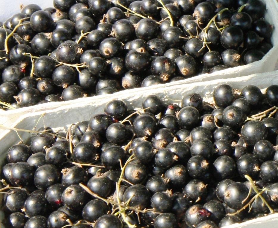 czarna porzeczka, ceny porzeczek, uprawa porzeczki, jagodnik.pl, jagodnik