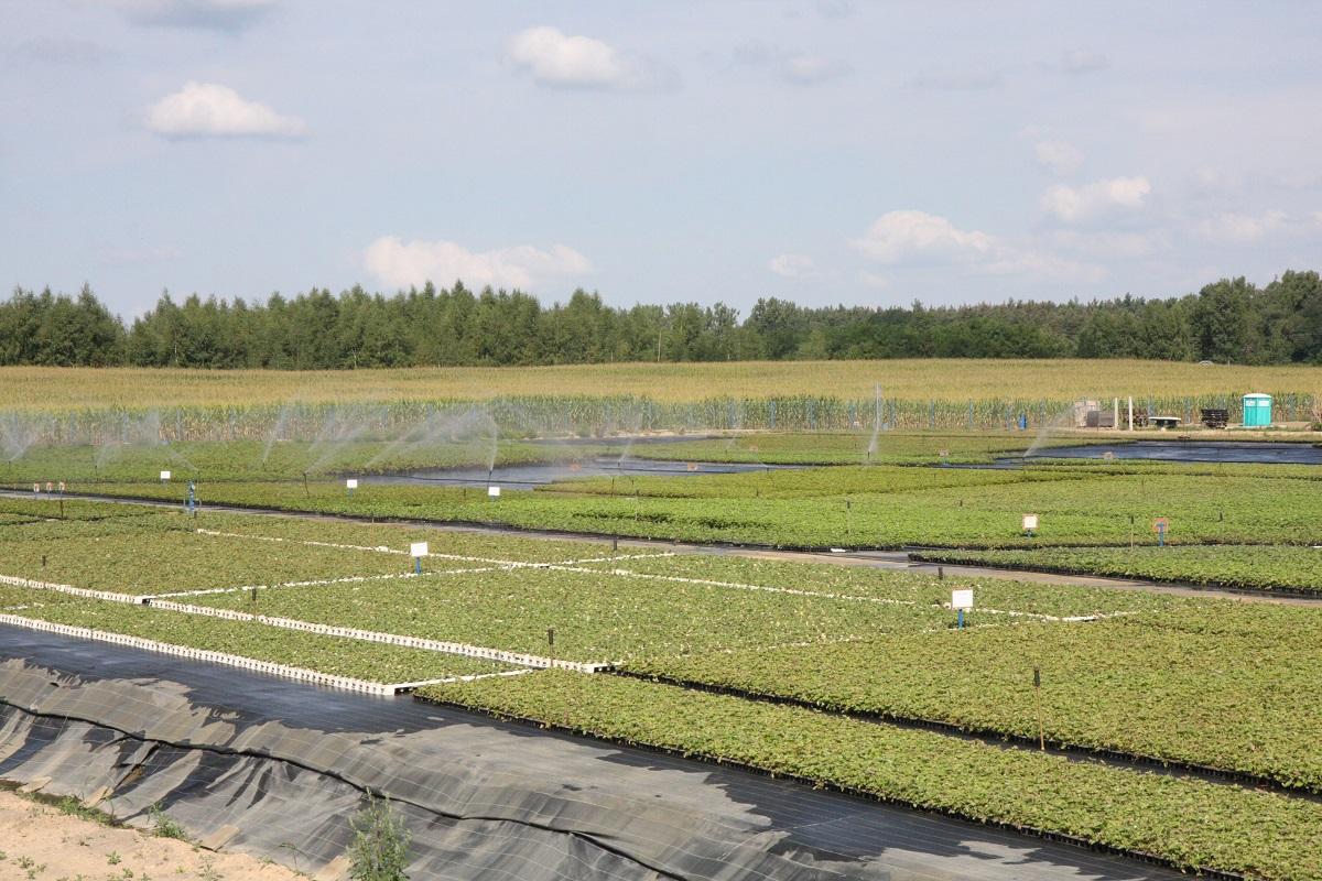 sadzonki doniczkowane, sadzonki truskawek, jagodnik.pl, poland Plants
