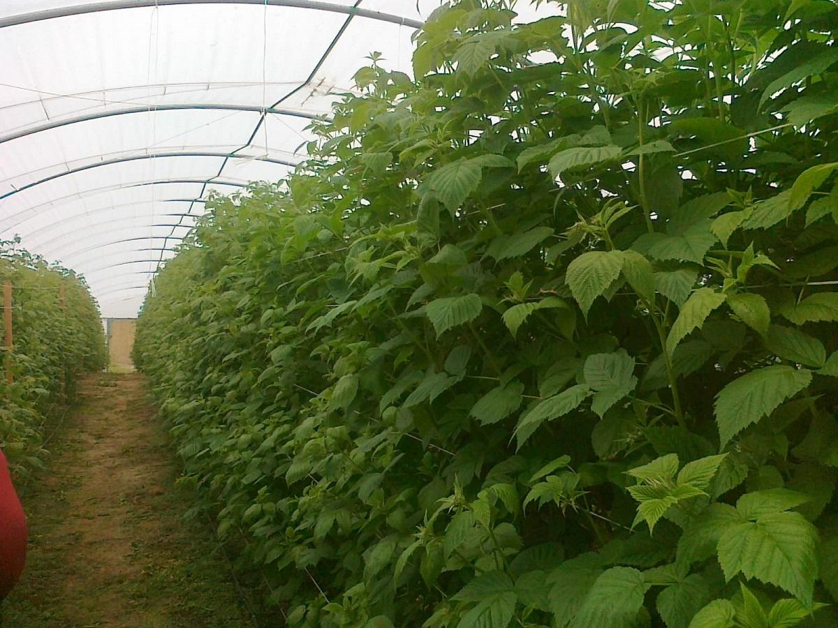 fertygacja malin, nawożenie malin, uprawa malin w tunelach, jagodnik.pl, maliny uprawa