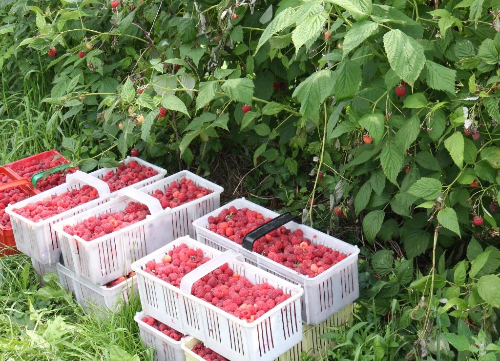 maliny, ceny malin, uprawa malin, jagodnik, eksport malin, odmiany malin