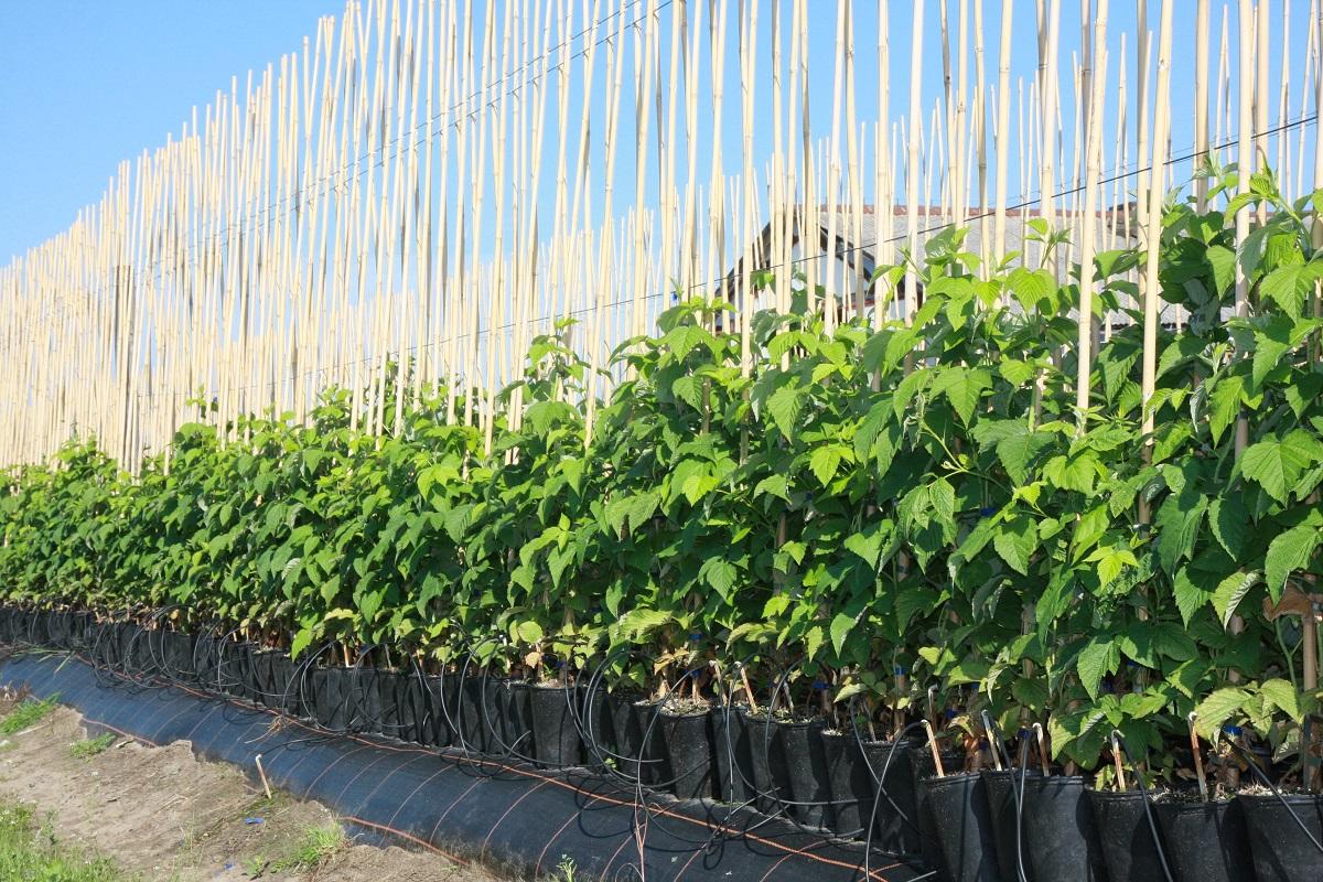 technologia uprawy, maliny, sadzonki long cane, Poland Plants, maliny, sadzonki malin