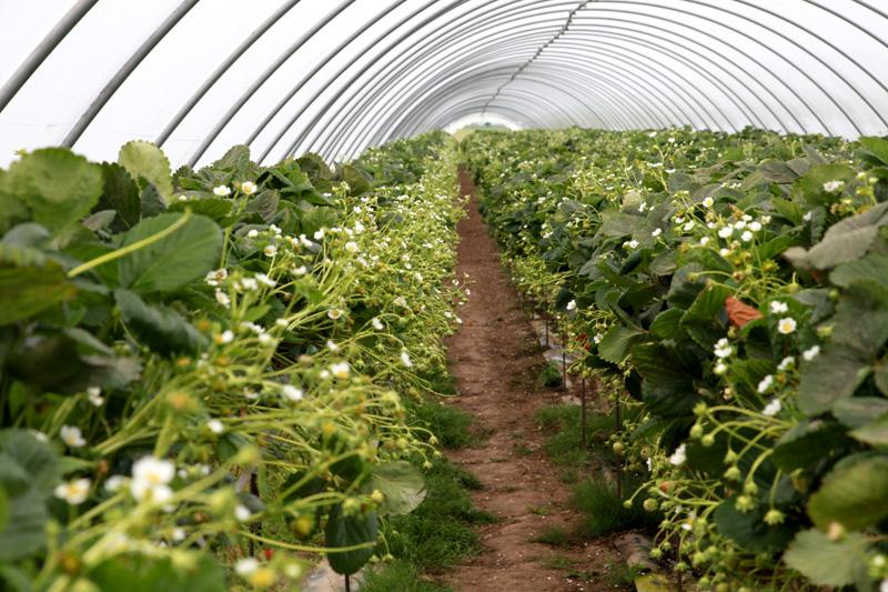 pielęgancja truskawek w tunelach, technologia uprawy, truskawka, truskawki pod osłonami, pielęgnacja truskawek, truskawki w Szkocji, jagodnik.pl, jagodnik, truskawka, odmiany powtarzające