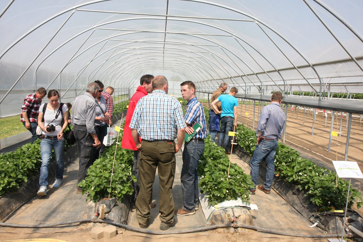 uprawa truskawek, Auweiler, jagodnik.pl, truskawka