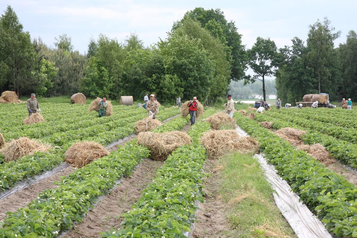 truskawka, malina, borówka wysoka, pracownik sezonowy
