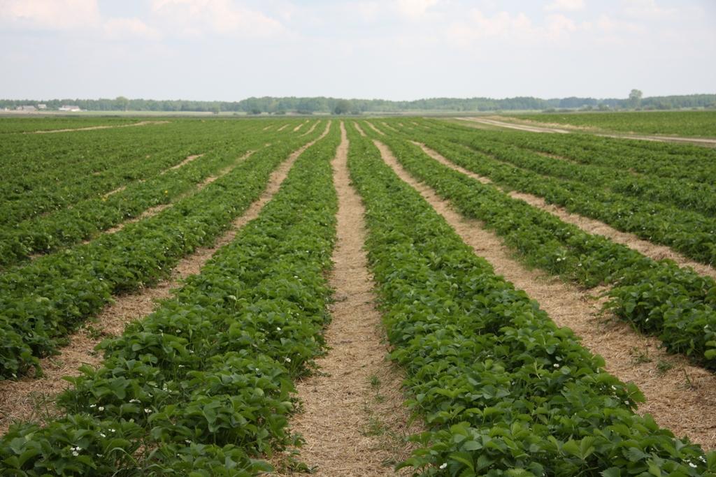 truskawka, plantacja truskawek, uprawa truskawek