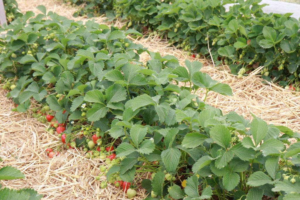 truskawka, owocująca plantacja truskawek, jagodnik, ochrona trusakwek