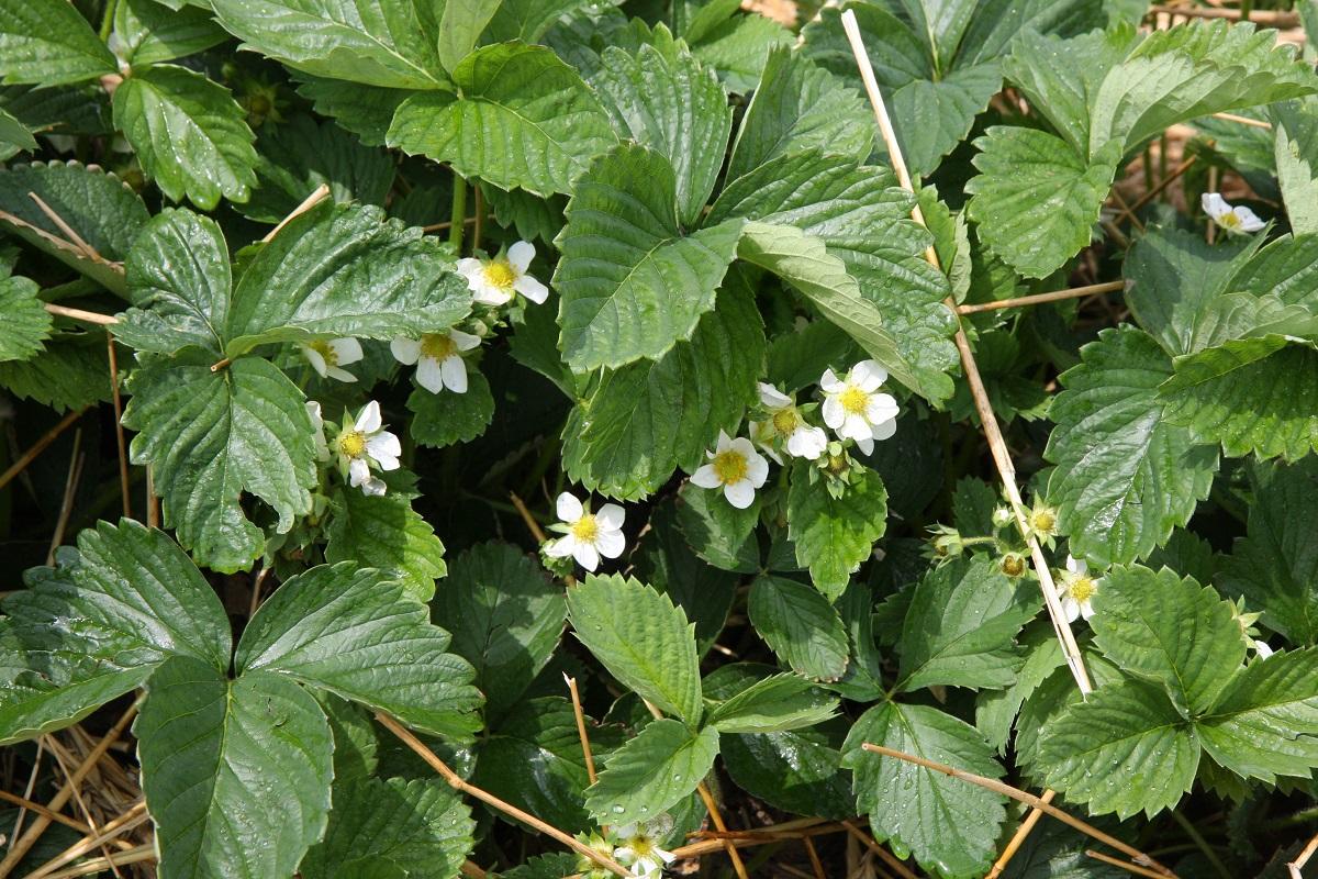 komunikat jagodowy, ochrona truskawek, truskawka kwitnienie