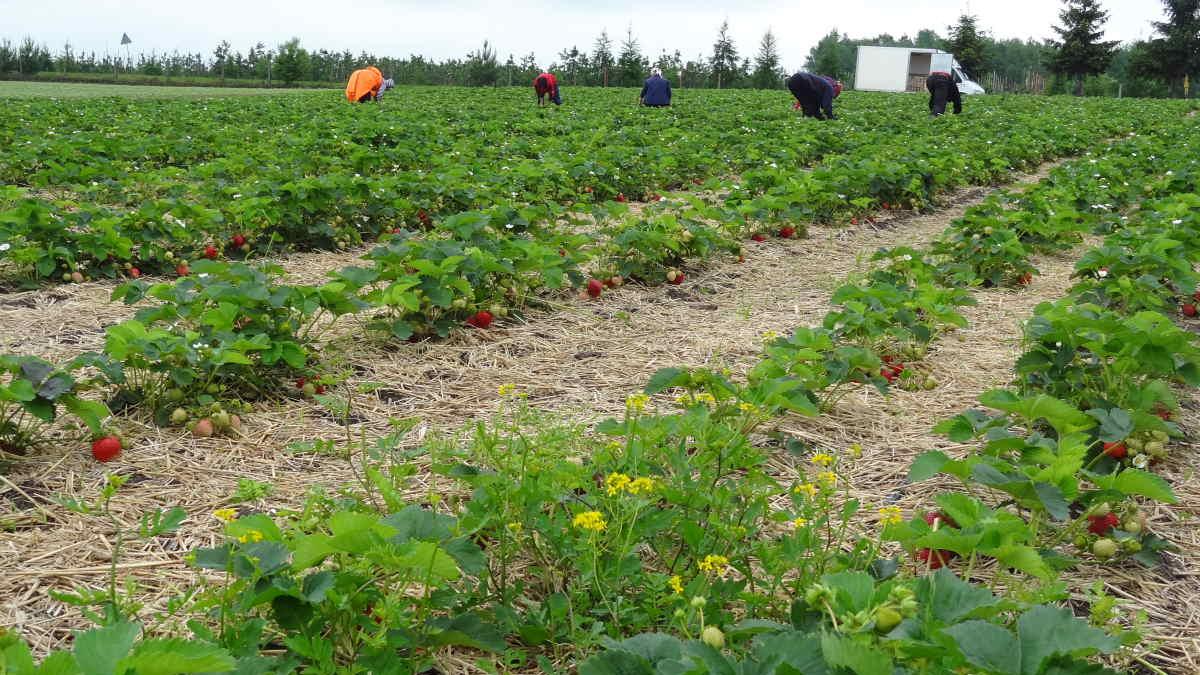 zbiór truskawek, grupa truskawkowa