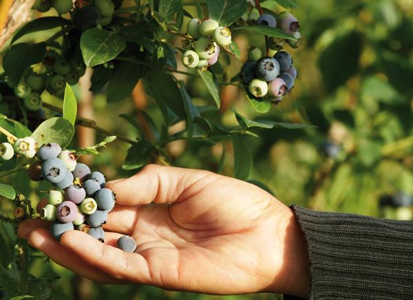 aktualności, świat, borówka, Chile, Chilean Blueberry Committee