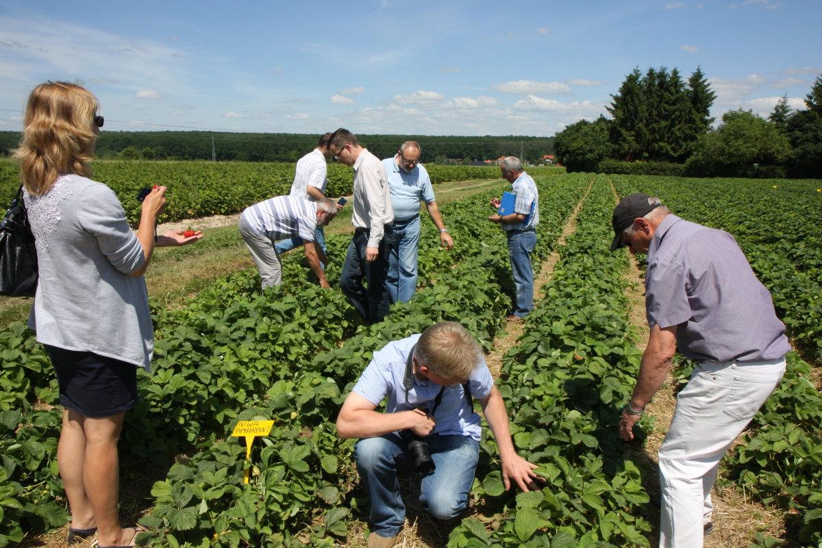 Truskawka, odmiany truskawek, Niwa, truskawki przemysłowe