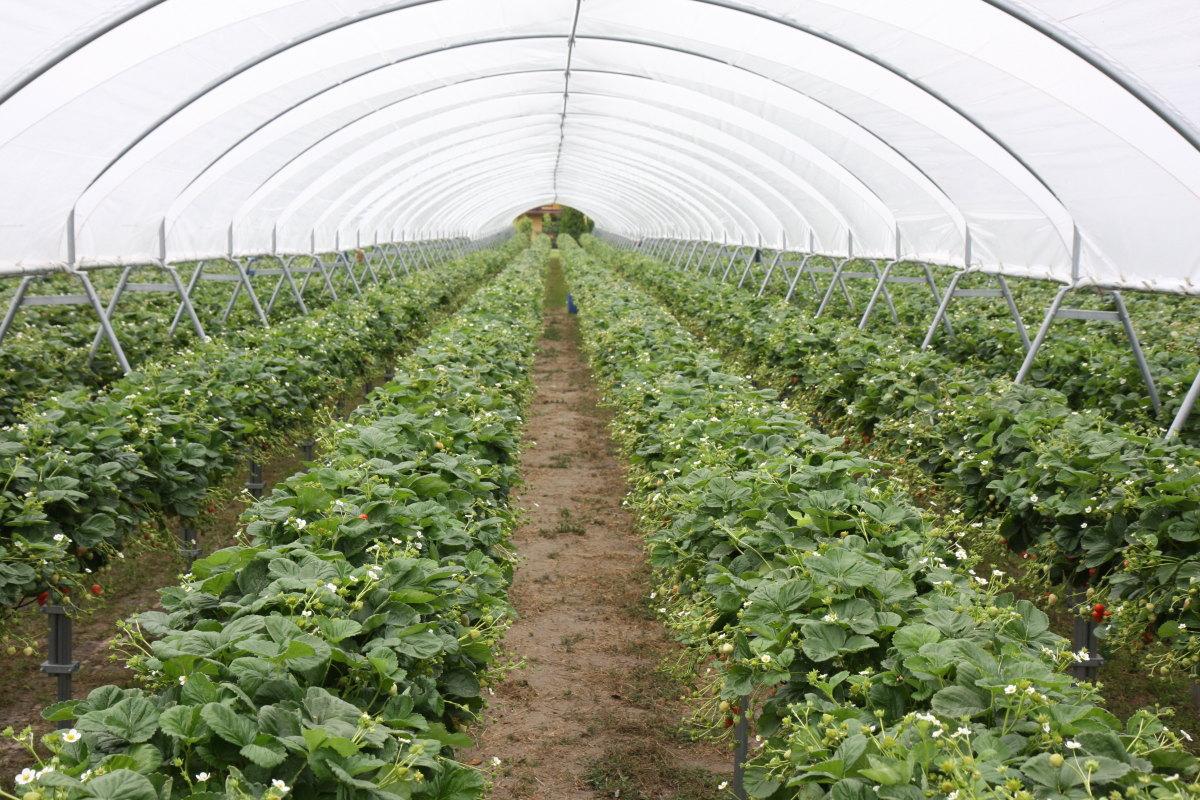 uprawa truskawek, minitunele, Dzień otwarty truskawki, rynny do uprawy