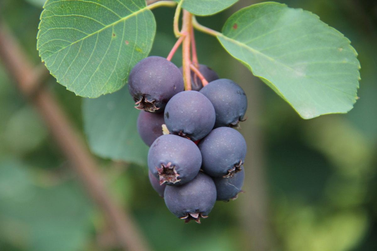 """świdośliwa, inne, uprawa świdośliwy, książka o świdośliwie, """"Świdośliwa olcholistna (Amelanchier alnifolia) – nowy gatunek krzewów owocowych w Polsce"""""""