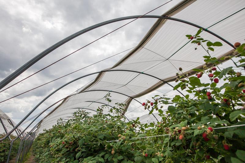 tunele dla malin, malinowe factory, uprawa malin