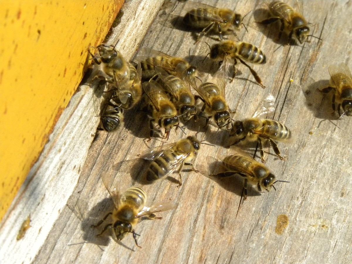 pszczoły, neonikotynoidy