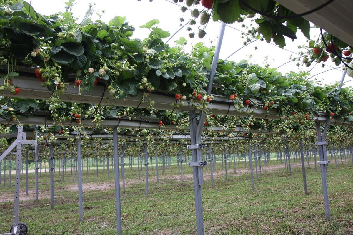 fertygacja, uprawa truskawek, truskawki w rynnach,