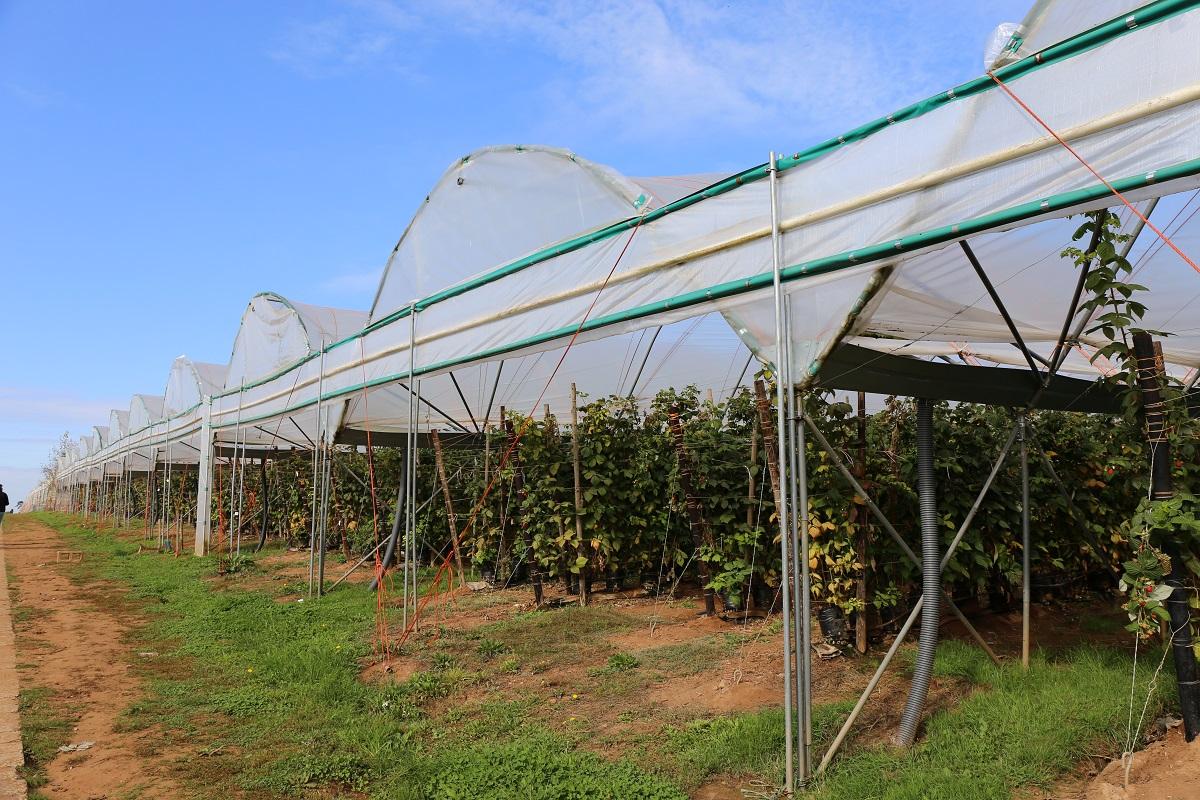 malina, uprawa malin, tunele dla malin, Haygrove, jagodnik