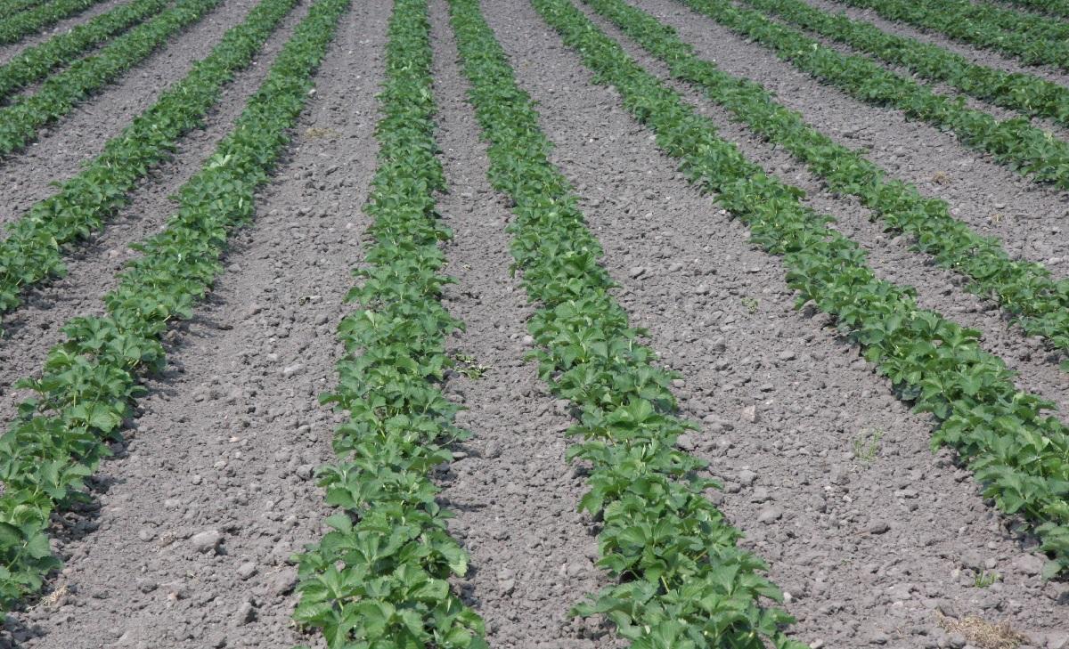 truskawka, uprawa truskawek, odmiany truskawek,