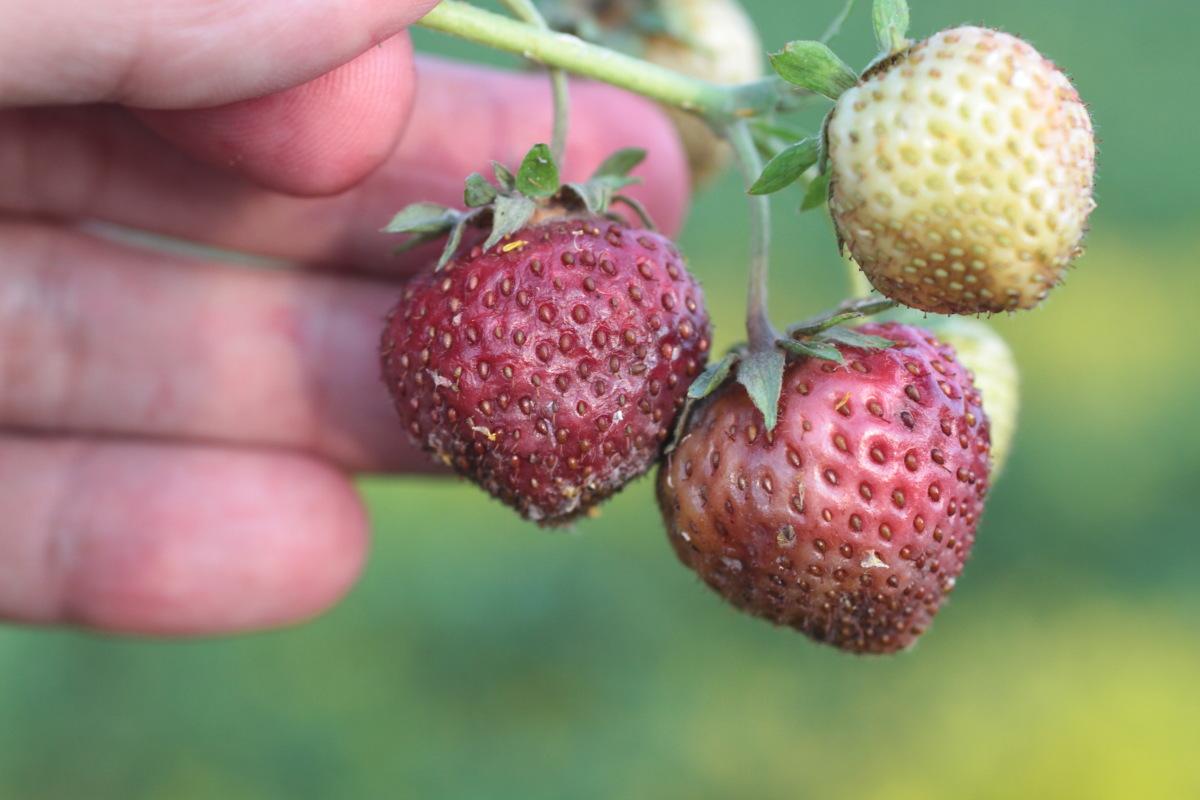 skórzasta zgnilizna owoców