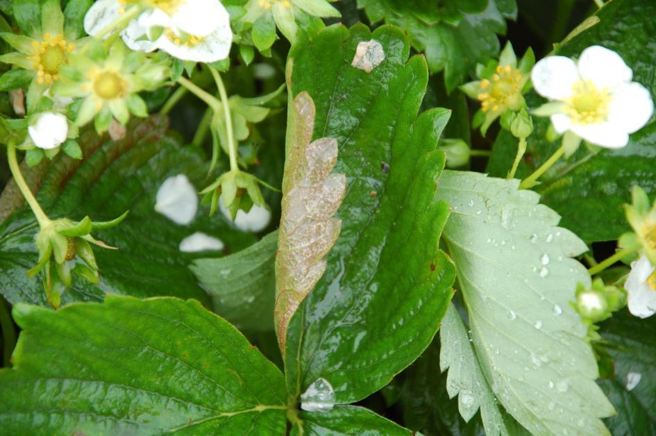 Odmiana Matis porażona przez mączniaka prawdziwego truskawki - zdjęcie z dnia 27.05.2015