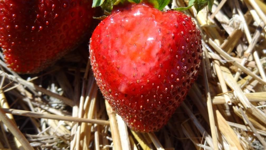 Owoce z widocznymi uszkodzeniami słonecznymi