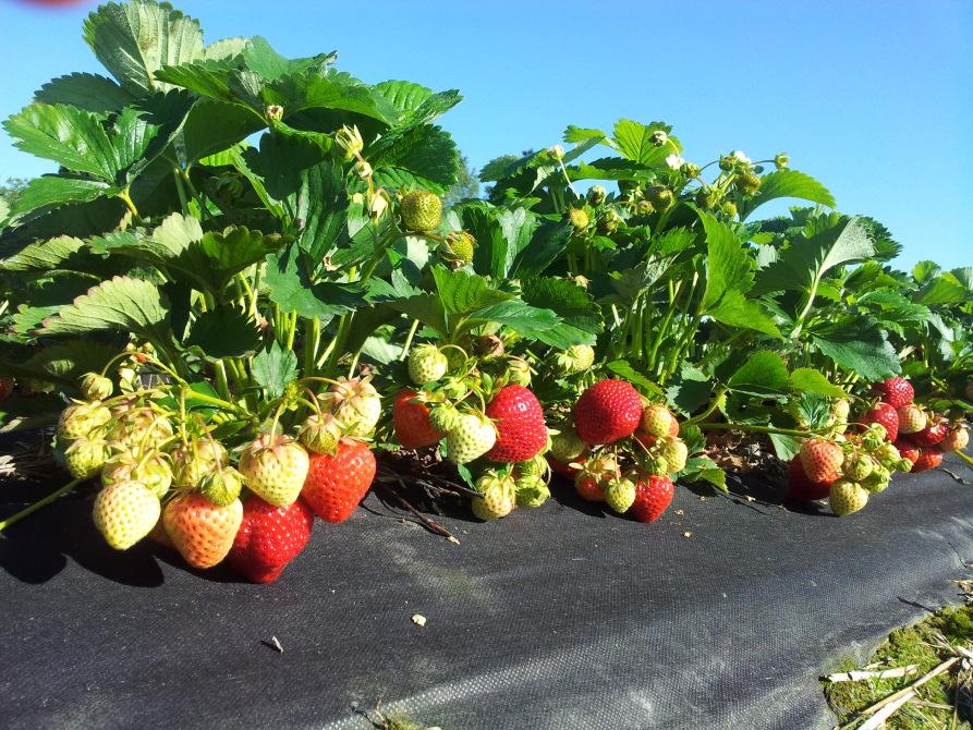 jagodnik, truskawka, malina, rośliny jagodowe