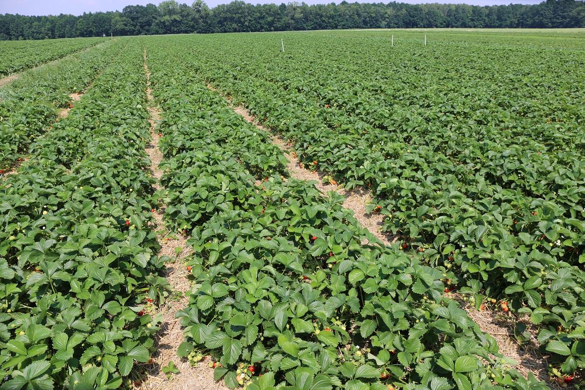 truskawka, plantacja truskawek